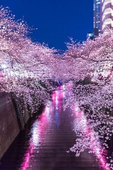 yozakura 提灯の反射と目黒川満開の夜桜b.jpg